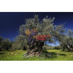 olio extravergine di oliva Evo Asso Calleri uliveto Calatino